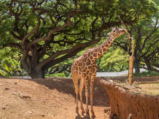 2歳児とした6泊8日のハワイ旅行記(二日目)ーホノルル動物園とカハラモール